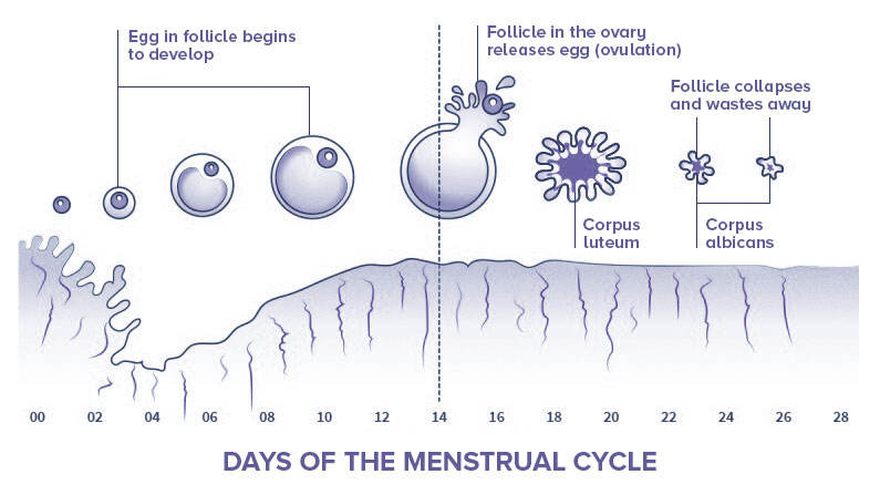 Endometrial Cycle